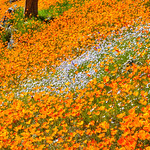 """California Poppies along Hite Canyon Cover"" near Yosemite National Park  #3810"