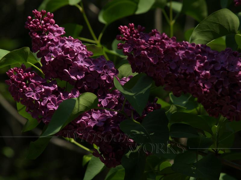 Dark Purple Lilac