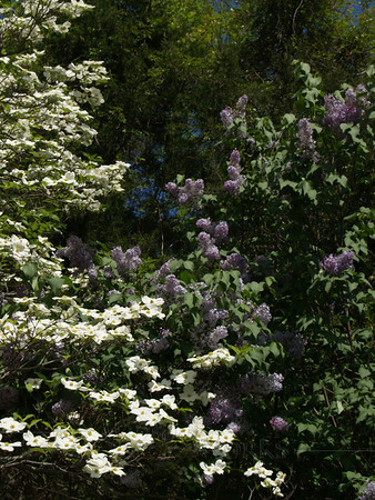 White Flowering Dogwood with Lilac