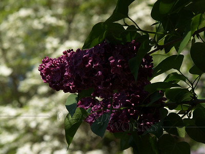 Dark Purple Lilac with White Dogwood Backdrop