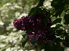 Dark Purple Lilac with White Dogwood Backdrop
