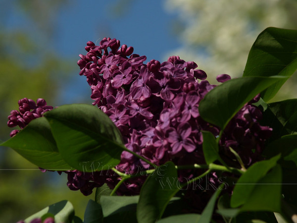 Dark Purple Lilac