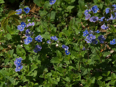 "Veronica peduncularis ""Georgia Blue"""