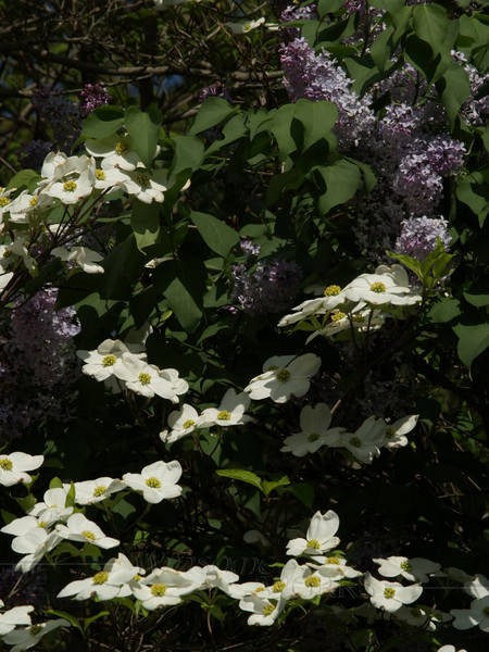 White Dogwood with Lilac