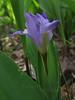 Dwarf Crested Iris (just a few inches high)