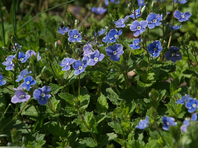 "Veronica peduncularis ""Georgia Blue"" in the Haszies' garden"