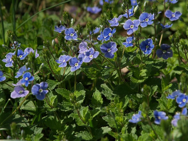 "Veronica peduncularis ""Georgia Blue"" in the Haszies' garden"