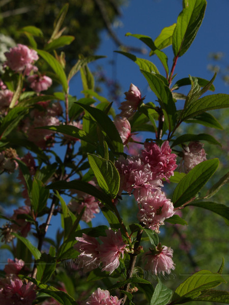 Japanese Flowering Almond (Prunus glandulosa)