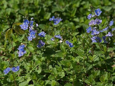 """Veronica peduncularis """"Georgia Blue"""""""