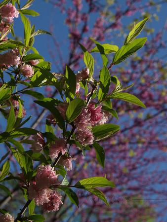 "Japanese Flowering Almond (Prunus glandulosa) with Redbud ""Forest Pansy"" behind"