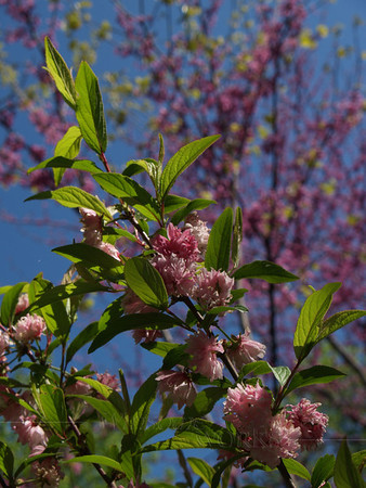 "Japanese Flowering Almond (Prunus glandulosa)with Redbud ""Forest Pansy"" behind"