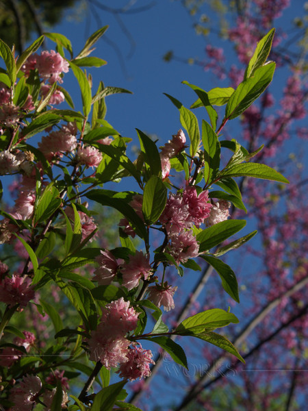 "Japanese Flowering Almond (Prunus glandulosa) with Redbud ""Forest Pansy"" backdrop"