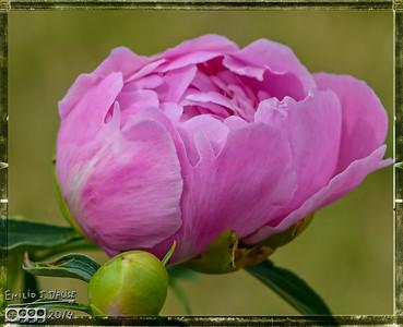 More June Flowers - 2014