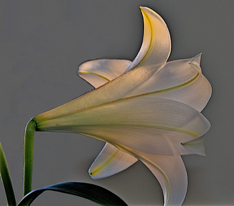 090827 Lily
