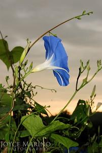 Morning Glory Vine reaching for the morning sky -- DSC_0019