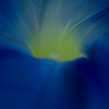 Morning Glory Flower Macro