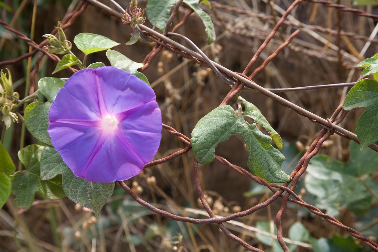 Morning glory - Ipomoea purpurea