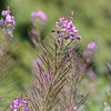Montain Flower_Chatel_2013-49
