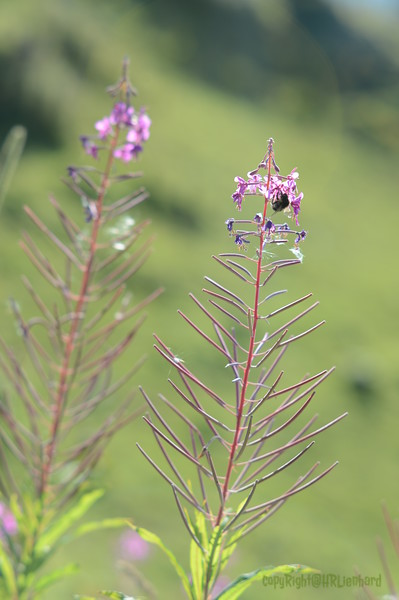 Montain Flower_Chatel_2013-30