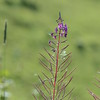 Montain Flower_Chatel_2013-27