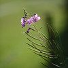 Montain Flower_Chatel_2013-77