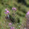 Montain Flower_Chatel_2013-46