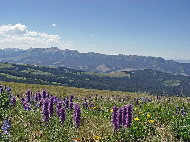 Purple Fringe Mountain Flowers, Ruby Mountains in background  #435