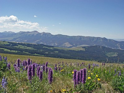 Mountain Flowers and Domestic