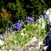 Blue Bells, Gravelly Range, Johnny Gulch Road