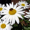 Daisies with Honey Bee