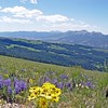 Blue Lupine and Mountain Sunflowers on Gravelly Range with Ruby Mountains as backdrop.