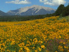 Magnificent Mount Princeton rolls out a golden carpet of sunflowers
