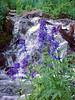 larkspur, Blue Lakes, Mount Sneffels Wilderness