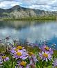 Asters at Blue Lake, West Elks