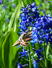 Hummingbird Moth sips from Larkspur, Blue Lakes, Mount Sneffels Wilderness