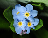 It appears grasshoppers dig forget-me-nots...