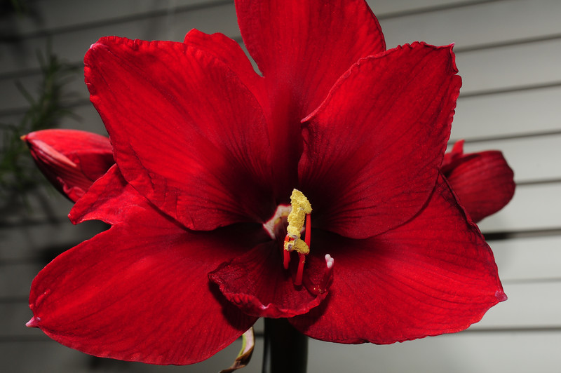 My second amaryllis, which I picked up from a clearance rack at the grocery store, actually beat my first amaryllis.