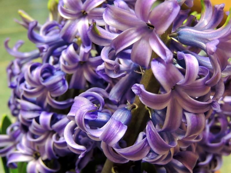 a pot full of hyacinth
