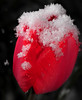 chilled tulip