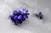 frosty grape hyacinth