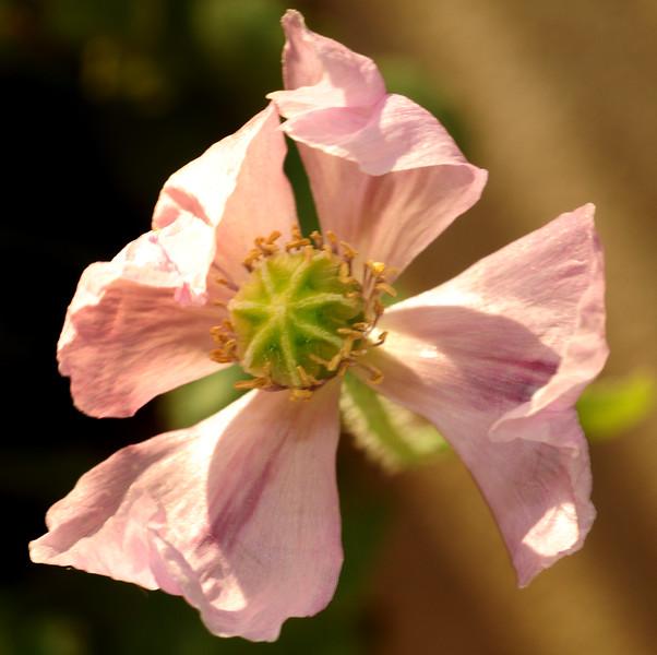 wind-blown poppy