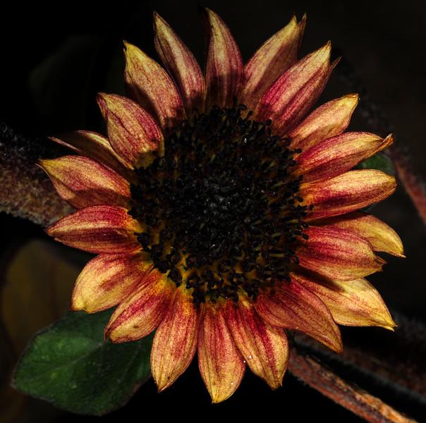 the last giant sunflower