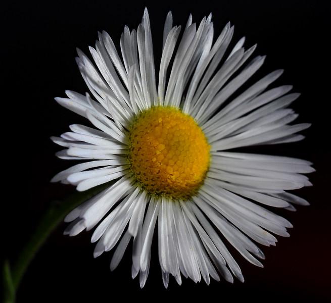 the last daisy