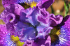 Siberica Strawberry Fair Iris