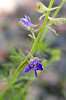 larkspur surprise