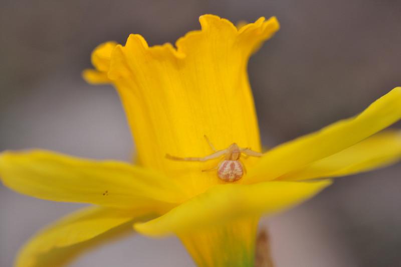 Daffodil Tenant