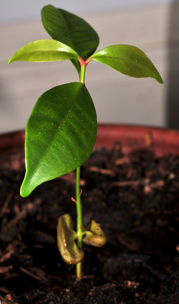 Big Sister clove seed is sprouting her second tier of fragrant leaves.