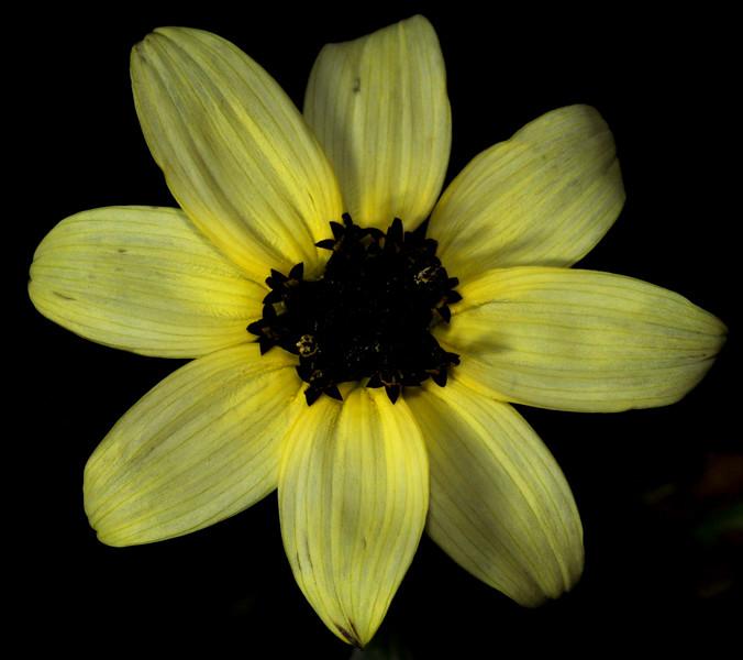 the last yellow mini sunflower