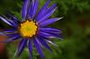 the last blue daisy