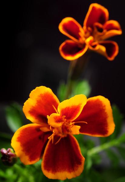 indoor marigolds